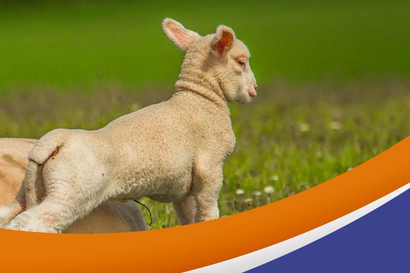Nulamb — La alimentación pensada para los corderos durante la lactancia.