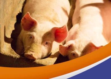 Guía para reconocer enfermedades en sus cerdos, utilizando sus 4 sentidos