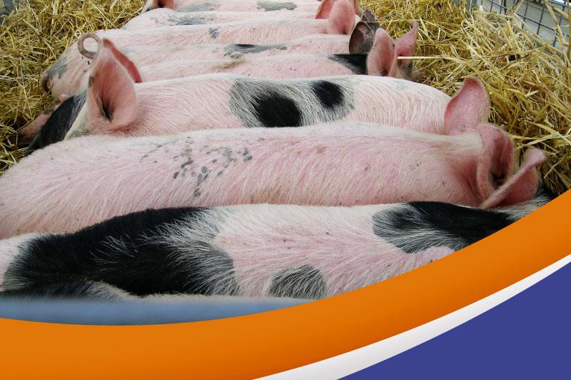 ¿Cuál es el impacto del estrés en la calidad de la carne de cerdo?