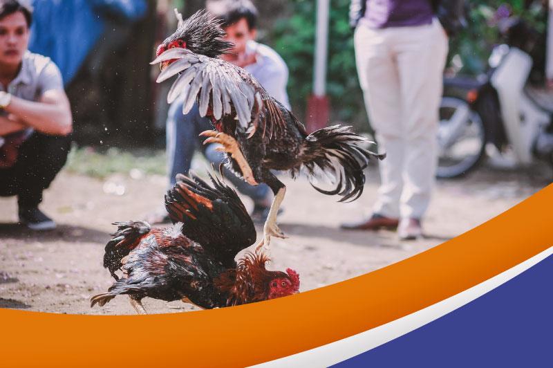 Nugallo — Alimento Súper Premium para Gallos de Combate